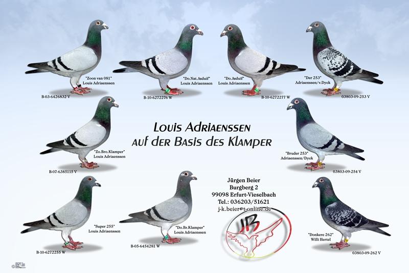 Brieftauben Louis Adriaenssen